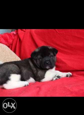 Reserve ur imported top quality American akita puppy