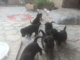 German shephard for sale in ife, 40K