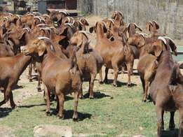Few goats by breeder for sale..