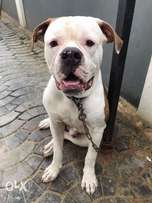 American bulldog... full breed... 8 months old... may precisely, can't