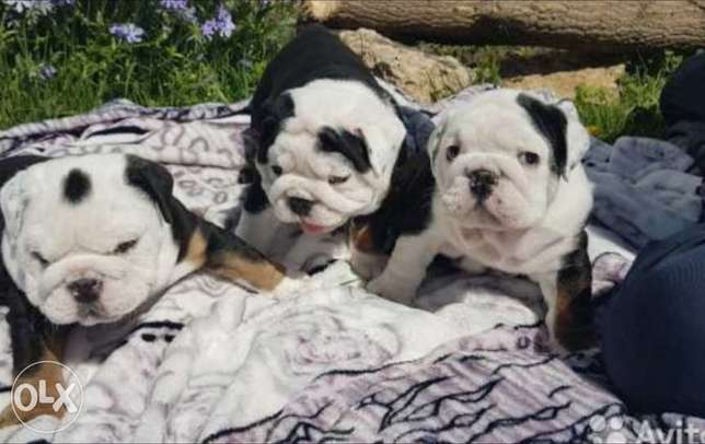 Imported english bulldog puppies, premium quality with all documents