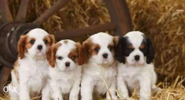 Cavalier puppies, with Pedigree and microchip