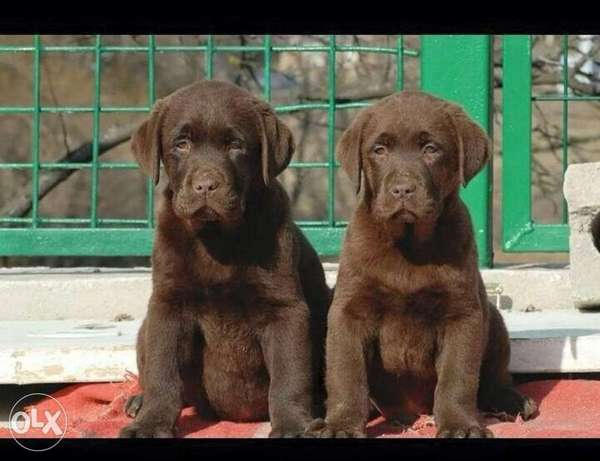 Highest quality and best price imported Labrador puppies, لبرادور