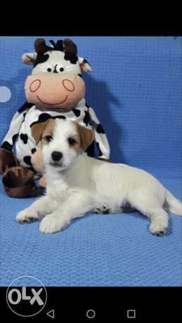 Imported jack russel puppies best quality