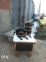 Superb Rottweiler puppies for sale