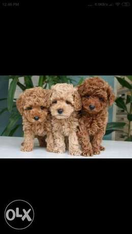 Imported toy poodle puppies top quality