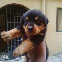 Rottweiller puppy for sale