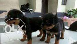 Box Head Rottweiler Puppies Available