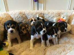 Lovely And Active Litter Of Beagle Puppies.