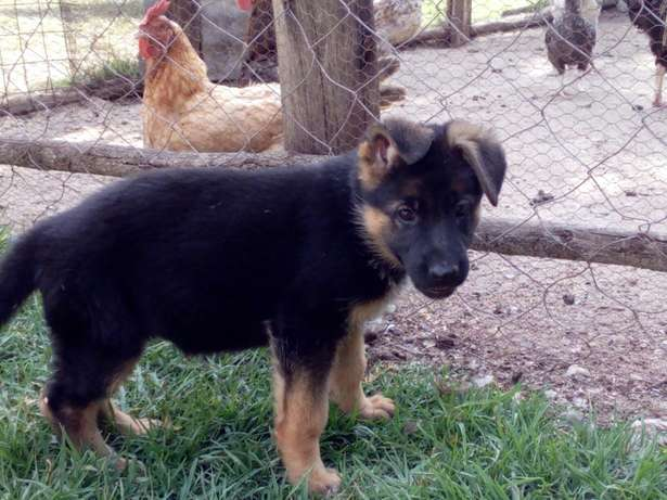Registered GSD's Karen - image 3