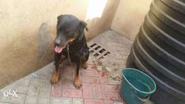 1 year 6 months adult male Rott