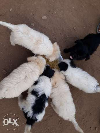 lasar puppies with lovely colours for sale Ejigbo - image 1