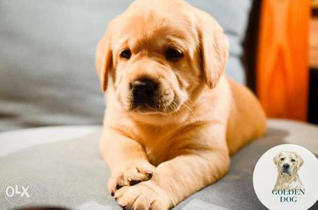 Labrador Retriever puppies Ready For Shipping From Kiev Full documents
