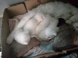 Fluffy white half Persian kittens