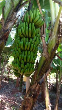 Maragwa a prime 2 acres with banana and trees Mbugua - image 3