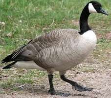 Geese For Sale!