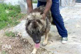 About 2 years old male Caucasian for sale