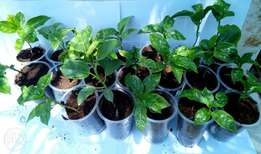 Amazing discounts on Purple Passion Fruit Seedlings