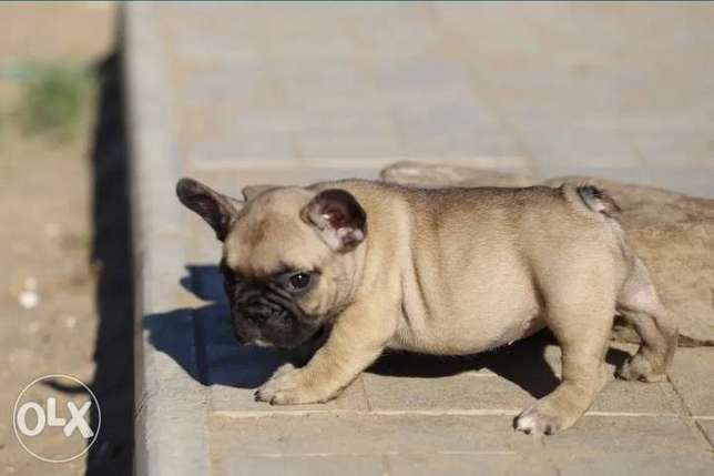 French bulldog puppies imported from Ukraine with all documents