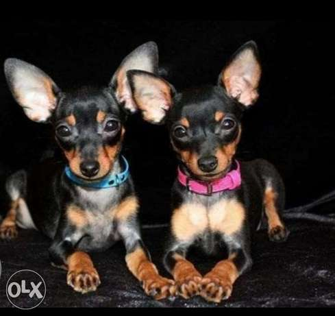 Top quality imported mini pinscher puppies with Pedigree ميني بنشر
