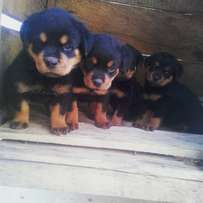 German Rottweiler Guard Dog Puppy / Puppies Available For Sale