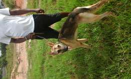 German shepherd male adult. Slant back for sale. One year six months