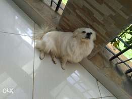 9months Japanese Spitz for sale