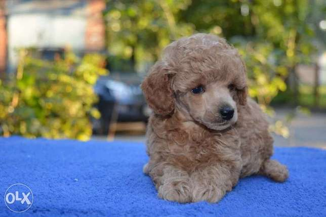 Toy Poodle High Quality
