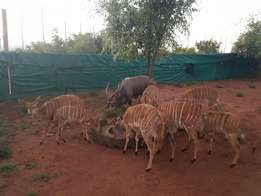 Nyala breeding package