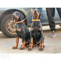 Doberman puppies, banker check is accepted, high quality, vaccinated.
