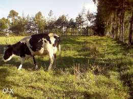 Lactating Freshian cows for sale