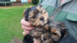 Yorki pupies for sale