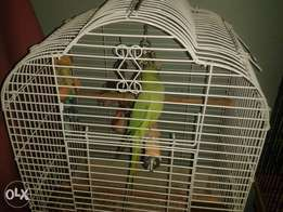 Selling 3 ringneck birds with cages as owner is moving away