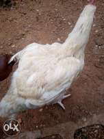 Big and heavy Chickens for sale