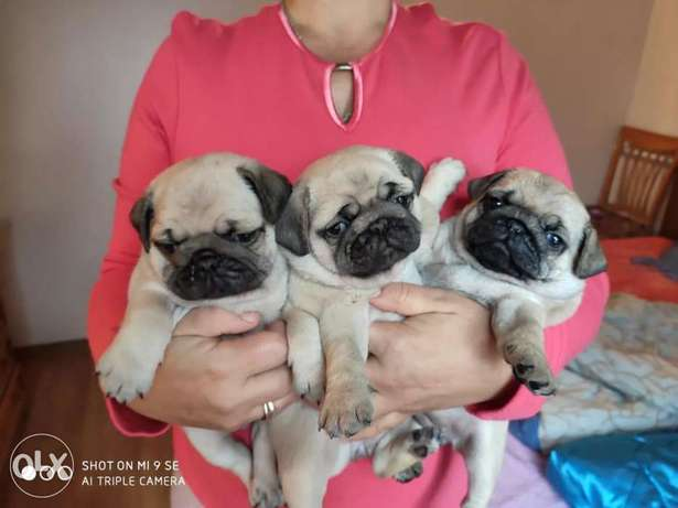 Pug Puppies(Monc) Of High Quality Imported from Ukraine