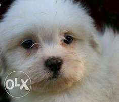 Male Lhasa available for Säle