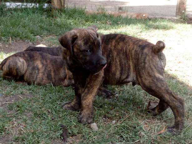 Brindle Boer puppies Karen - image 3