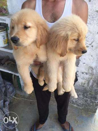 Beautiful Golden Retriever Puppies الزلفي -  1