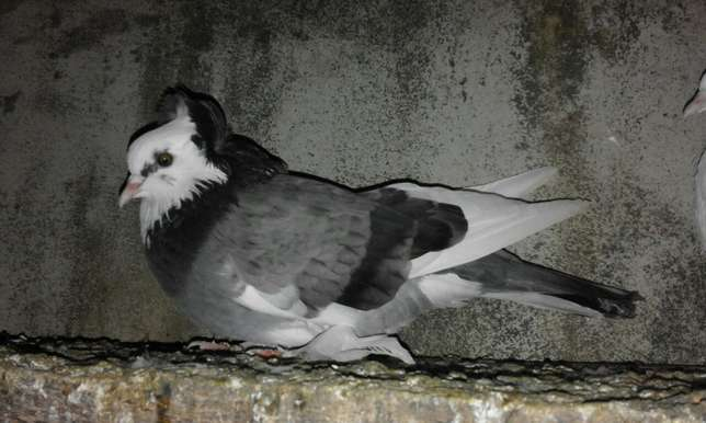 Matured females capuchino pigeons for sale price is for each. Kanamai - image 5