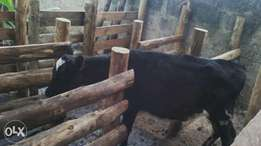 4 months freshian pedigree calf for sale