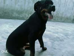 Rottweiler available for sale