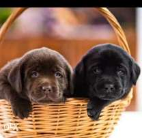 Best of the best imported Labrador puppies with all documents