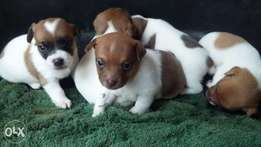 Pure bred jack russel puppies