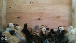 Kuroiler Chicks for sale (all ages available)