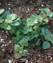 Oregano seedlings plants