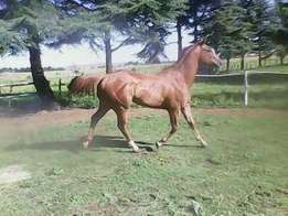 Beautiful Thoroughbred for sale