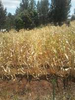 2,70*100 plot at Makuyu, Mugira. Red soil.