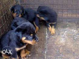 Rottweiler puppies are available for sale