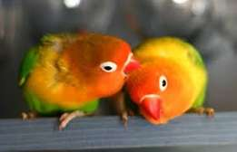 parrots for sale-love birds