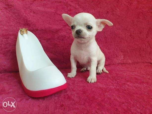 """Imported Male Chihuahua puppy 2 months """"Top Quality"""""""